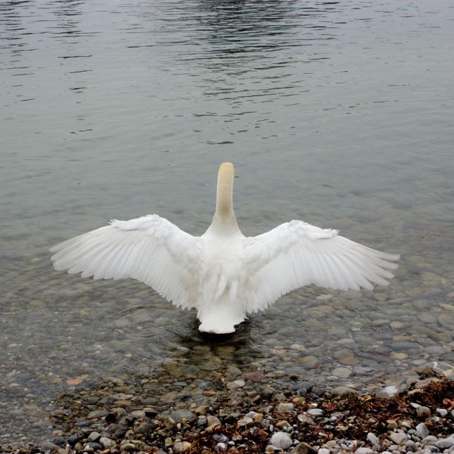 Bootvogel (Schwan)