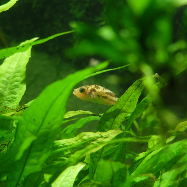 Fischchen