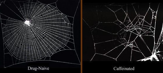 Spinnennetz von normaler Spinne und einer unter Koffeineinfluss
