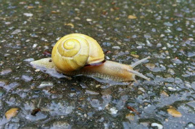 Schnecke auf regennassem Weg