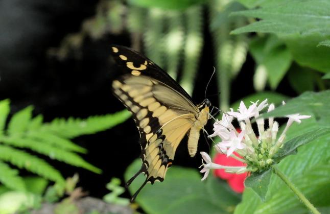 Großer Schwalbenschwanz (Papilio cresphontes)
