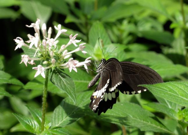 Kleiner Mormon (Papilio polytes - cyrus form)