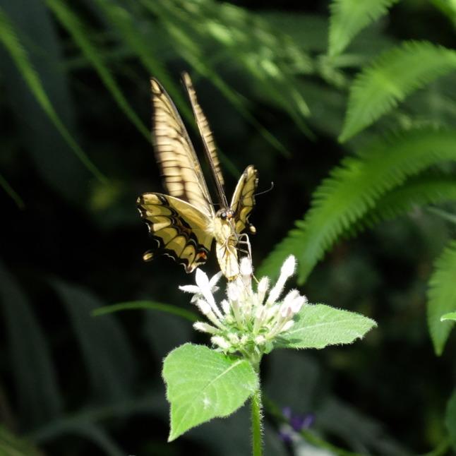 Großer Schwalbenschwanz (Papilio cresphontes) 2