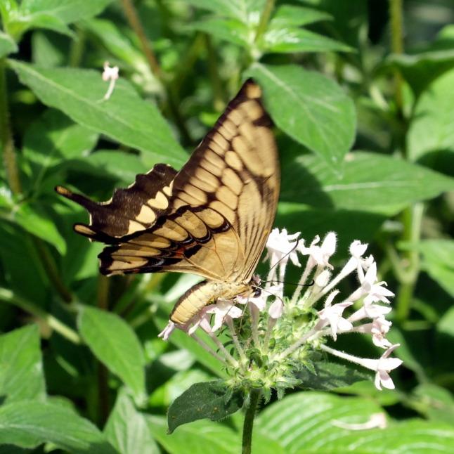 Großer Schwalbenschwanz (Papilio cresphontes) 3