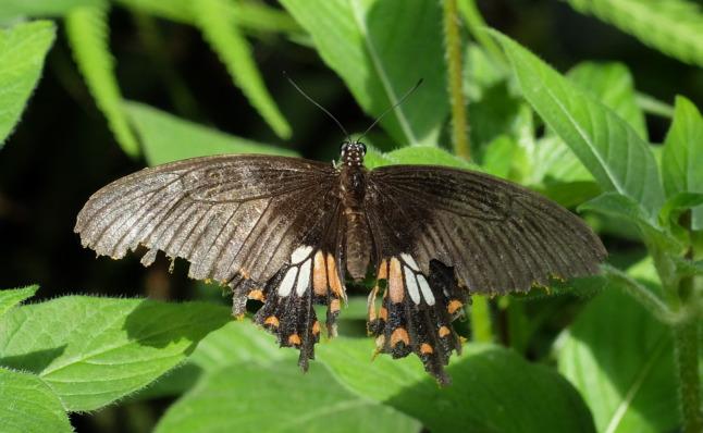 Ziemlich angefressener Kleiner Mormon (Papilio polytes - romulus
