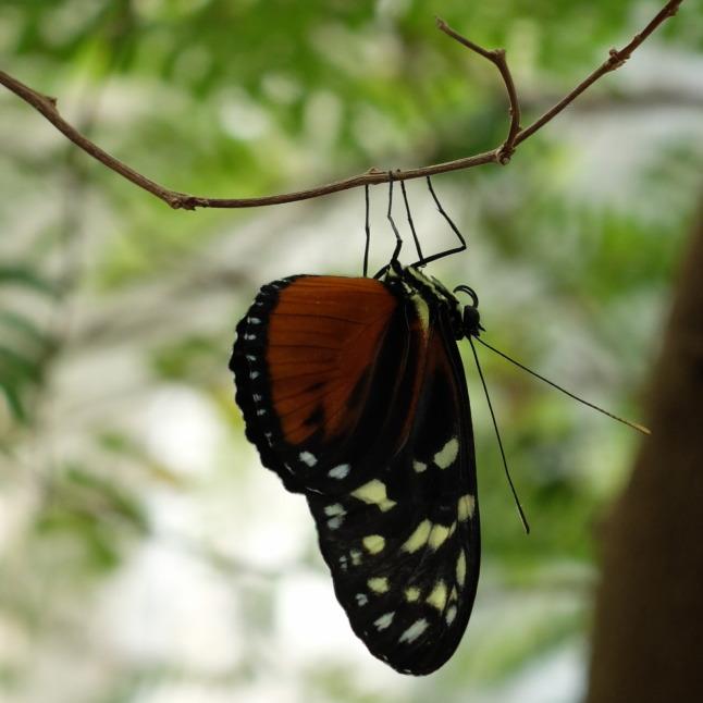 weiblicher Hypolimnas Missipus (scheinbar ohne deutschen Namen)