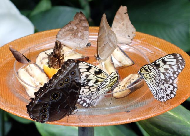 Mit Obst lockt man Schmetterlinge