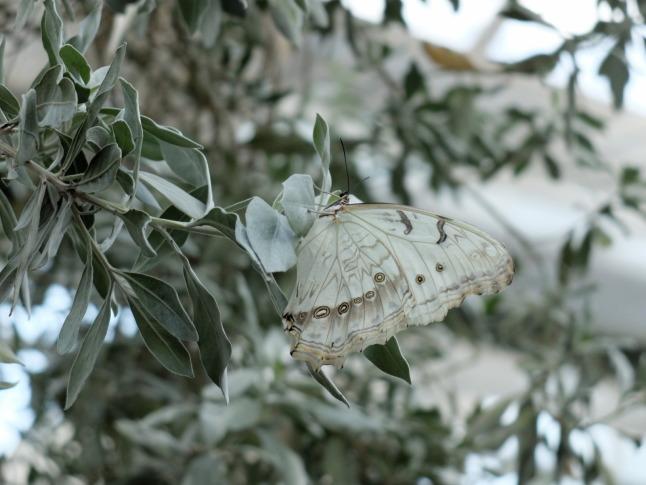 Weißer Morphofalter (Morpho polyphemus)
