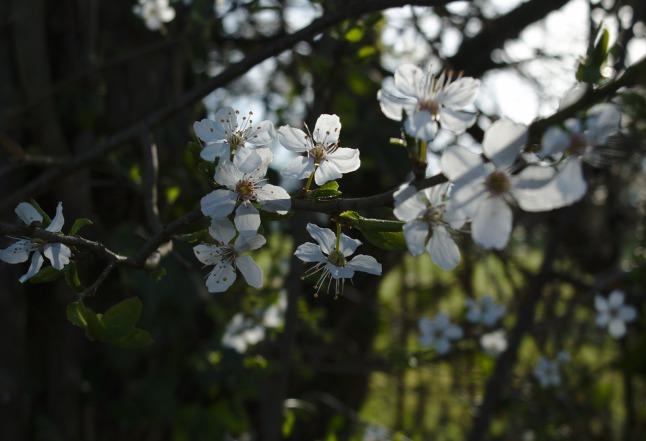 Blüten quer