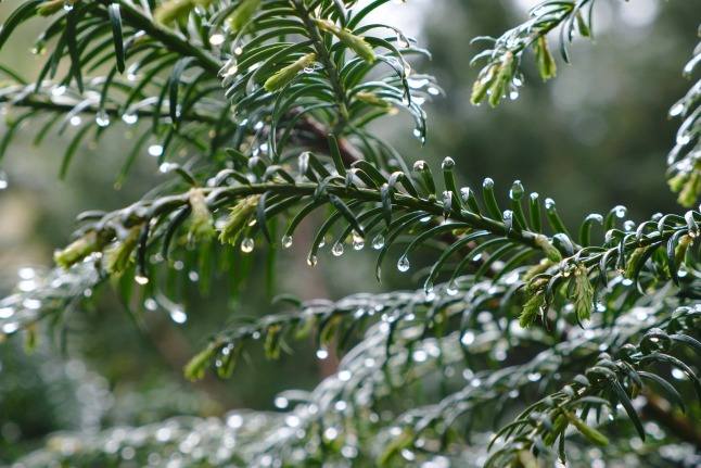 Conifer with drops