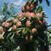 Industrielle Apfelproduktion