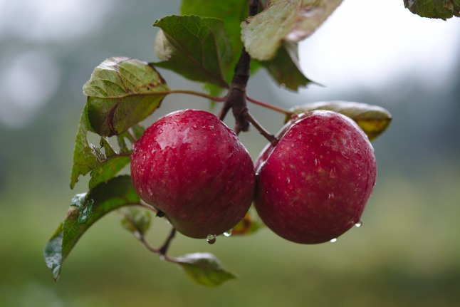 Apples in the rain