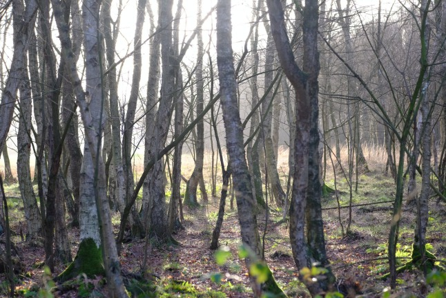 Birken gegen die Sonne