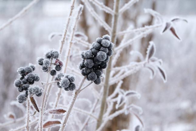 Frostige Beeren