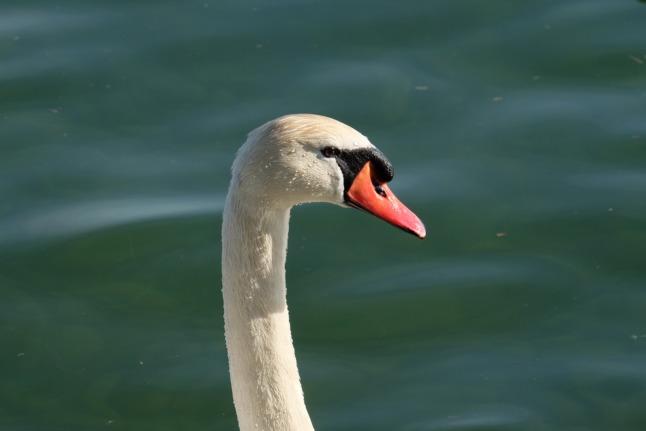 Bootvogel Portrait