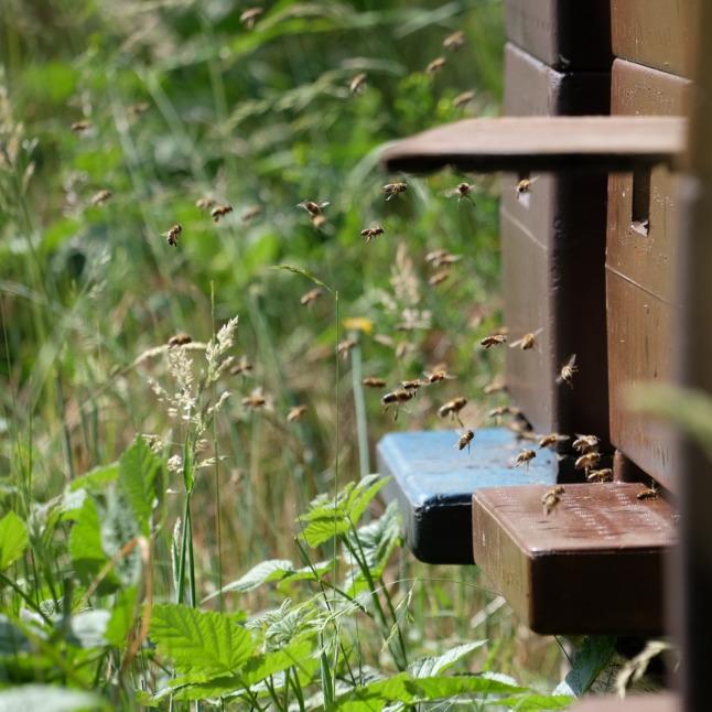 Hochbetrieb bei den Bienen