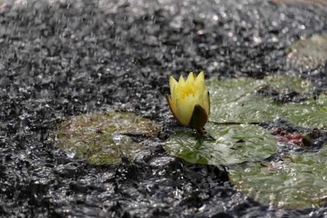 Seerose bei Starkregen